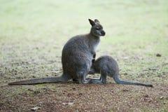 2 кенгуру на луге Стоковое Изображение