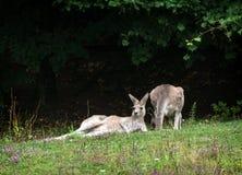 2 кенгуру отдыхая на луге Стоковое фото RF