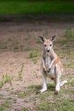 кенгуру одичалый Стоковая Фотография