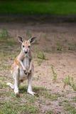 кенгуру одичалый Стоковое Изображение RF