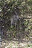 Кенгуру подавая его размножение в одичалом Стоковая Фотография RF