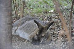 Кенгуру спать в зоопарке Стоковое Фото