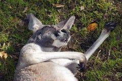 Кенгуру спать на ем назад Стоковое фото RF
