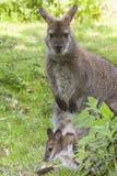 Кенгуру с щенком Стоковое Фото