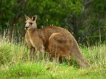 кенгуру Стоковое Изображение