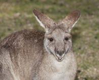 кенгуру Стоковое Фото
