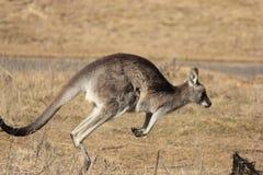 кенгуру Стоковое фото RF