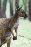 кенгуру Стоковое Изображение RF