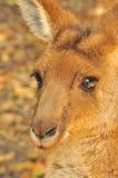 кенгуру Стоковые Фото