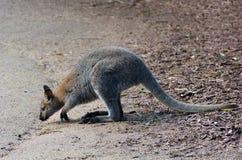 Кенгуру Antilopine Стоковая Фотография