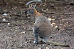Кенгуру Antilopine Стоковые Фотографии RF