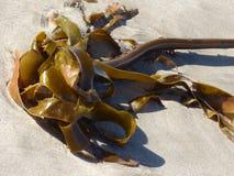 Келп на пляже Стоковая Фотография