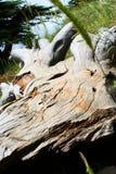 кедр Ливан Стоковое фото RF