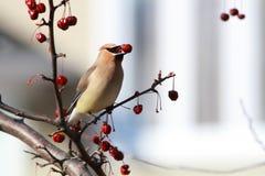 кедр птицы waxwing Стоковые Фотографии RF