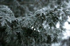 Кедр Snowy стоковая фотография