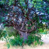 Кельтское дерево узла Стоковое Фото