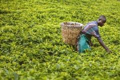 КИГАЛИ, РУАНДА - 6-ОЕ СЕНТЯБРЯ 2015: Неизвестный человек лейбориста Плантации чая Руанды стоковое изображение rf
