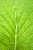 киец капусты Стоковая Фотография RF