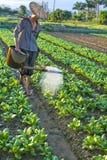 киец капусты Стоковое Фото