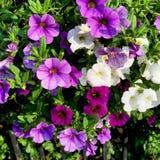 киец цветет тип петуньи иллюстрации Стоковые Фото