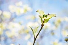 Кизил зацветает весной закоптелый национальный парк Теннесси гор стоковые изображения