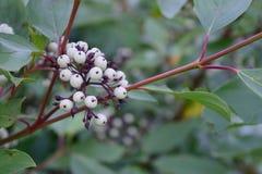 Кизил красного osier (sericea Cornus (stolonifera)) Ягоды стоковые изображения rf