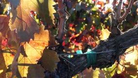 Кинематографический лоток листьев виноградины осени сток-видео