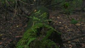 Кинематографический статический видео- взгляд со стороны с сиротливым деревом растя от мха сток-видео