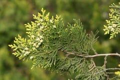 кипарис ветви стоковые фото