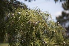 Кипарис в падении Стоковые Фотографии RF