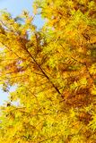 Кипарис красочной осени облыселый Стоковое Изображение RF