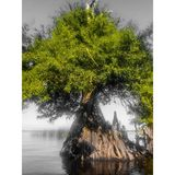 Кипарис на St. Johns River стоковые изображения rf