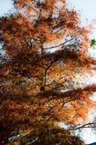 кипарис стоковая фотография rf