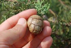 кипарис conifers Стоковая Фотография RF