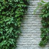 Кирпичная стена или загородка с одичалыми виноградинами Винтажная кирпичная стена с естественной флористической рамкой Одичалая в Стоковое фото RF