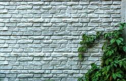 Кирпичная стена или загородка с одичалыми виноградинами Винтажная кирпичная стена с естественной флористической рамкой Одичалая в Стоковые Изображения