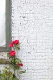 Кирпичная стена и красные розы покрашенные белизной Стоковое Изображение RF