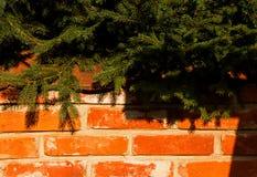 Кирпичная стена с елевыми ветвями Стоковые Фото
