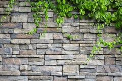 Кирпичная стена с зелеными заводами creeper Стоковое Фото