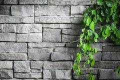 Кирпичная стена с зелеными заводами creeper Стоковое Изображение RF