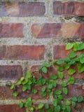 Кирпичная стена с плющом Стоковые Изображения RF
