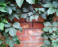 Кирпичная стена украшенная с листьями одичалых виноградин Стоковое Изображение RF