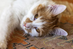 киска кота ослабляя Стоковая Фотография RF