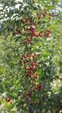 Кислые вишни в дереве Стоковые Фотографии RF