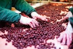 Кислые вишни в обрабатывая машинах стоковое изображение