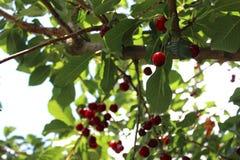 Кислые вишни на дереве Стоковое Фото