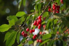 Кислые вишни Стоковые Фотографии RF