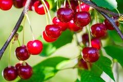 Кислые вишни Стоковая Фотография RF