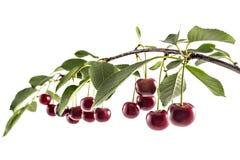 Кислые вишни Стоковое фото RF