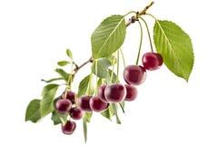 Кислые вишни Стоковые Фото